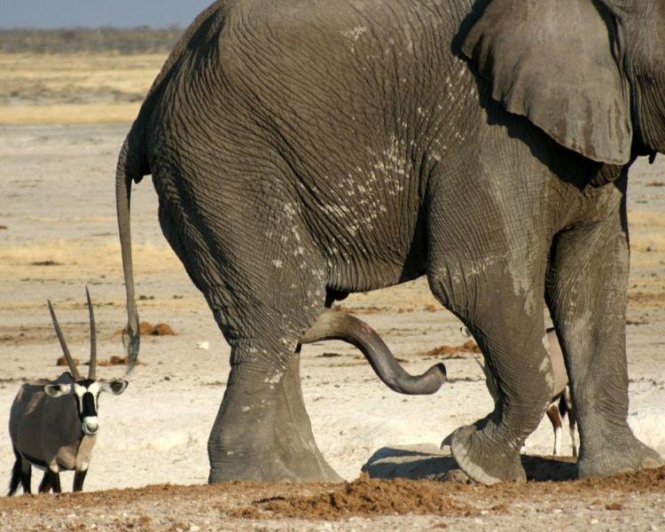 Пенис слона