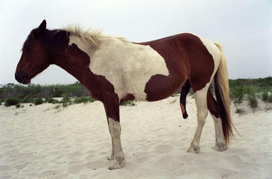 Пенис коня