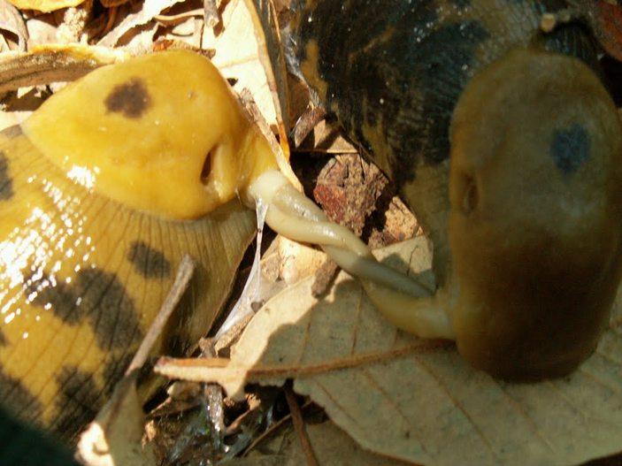 Пенис бананового слизня
