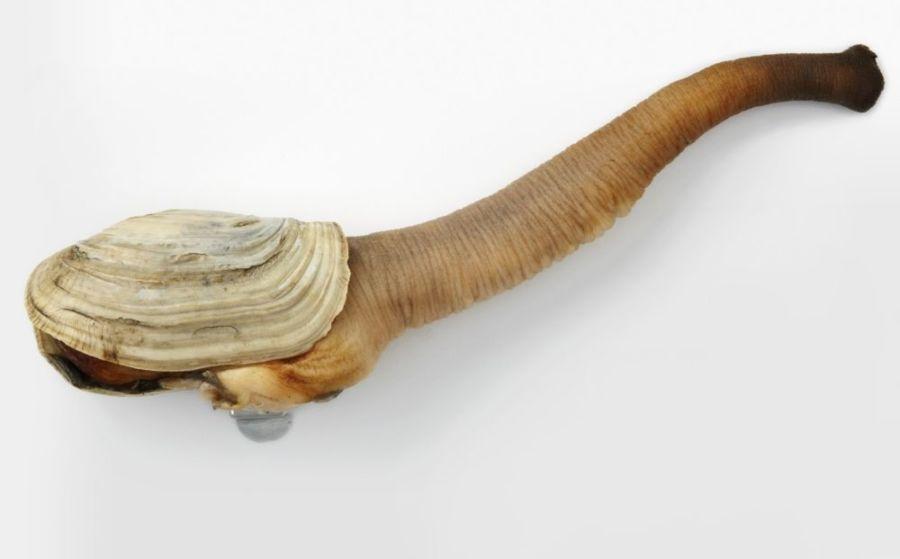 пенис морского желудя