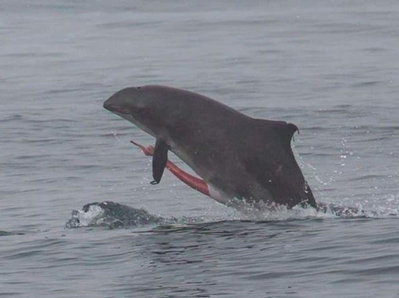 Член синего кита