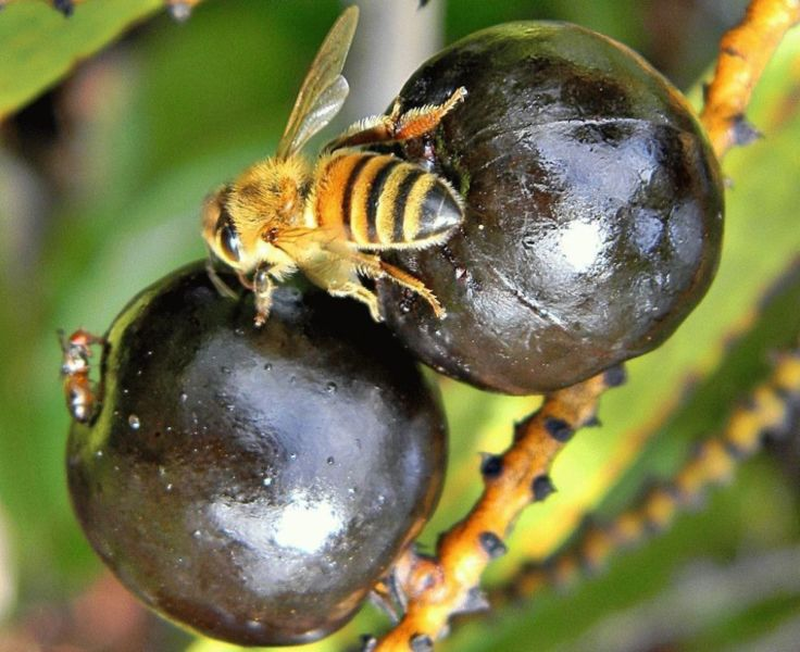 Плоды ползучей пальмы